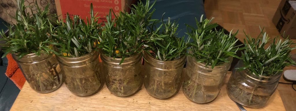 Rosemary cuttings